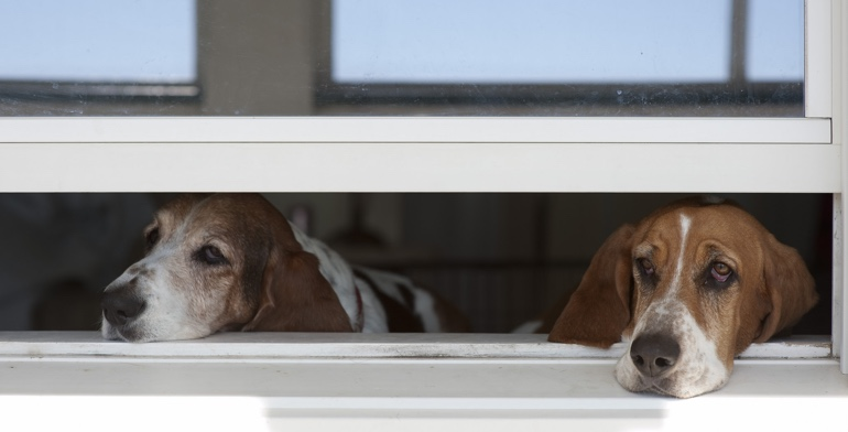 Dogs look out open window without window treatment in Jacksonville.